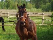 Белорусская упряжная лошадь