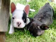 Белый щенок французского бульдога
