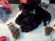 В дар щенки от небольшой породы собак