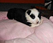 Щенок девочка,  три недельки - резервируем,  мама 25см в холке. Малышка здорова. Была спасена из леса,  находится в Волковыске,  привезут. В желтой жилетке -мама.  +375292807569 мтс